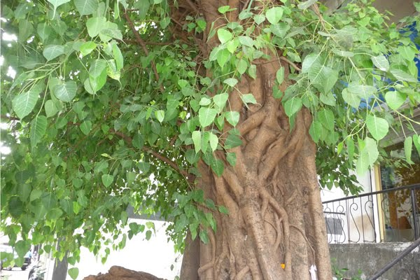 Birth Star Trees Photos | Travancore Devaswom Board