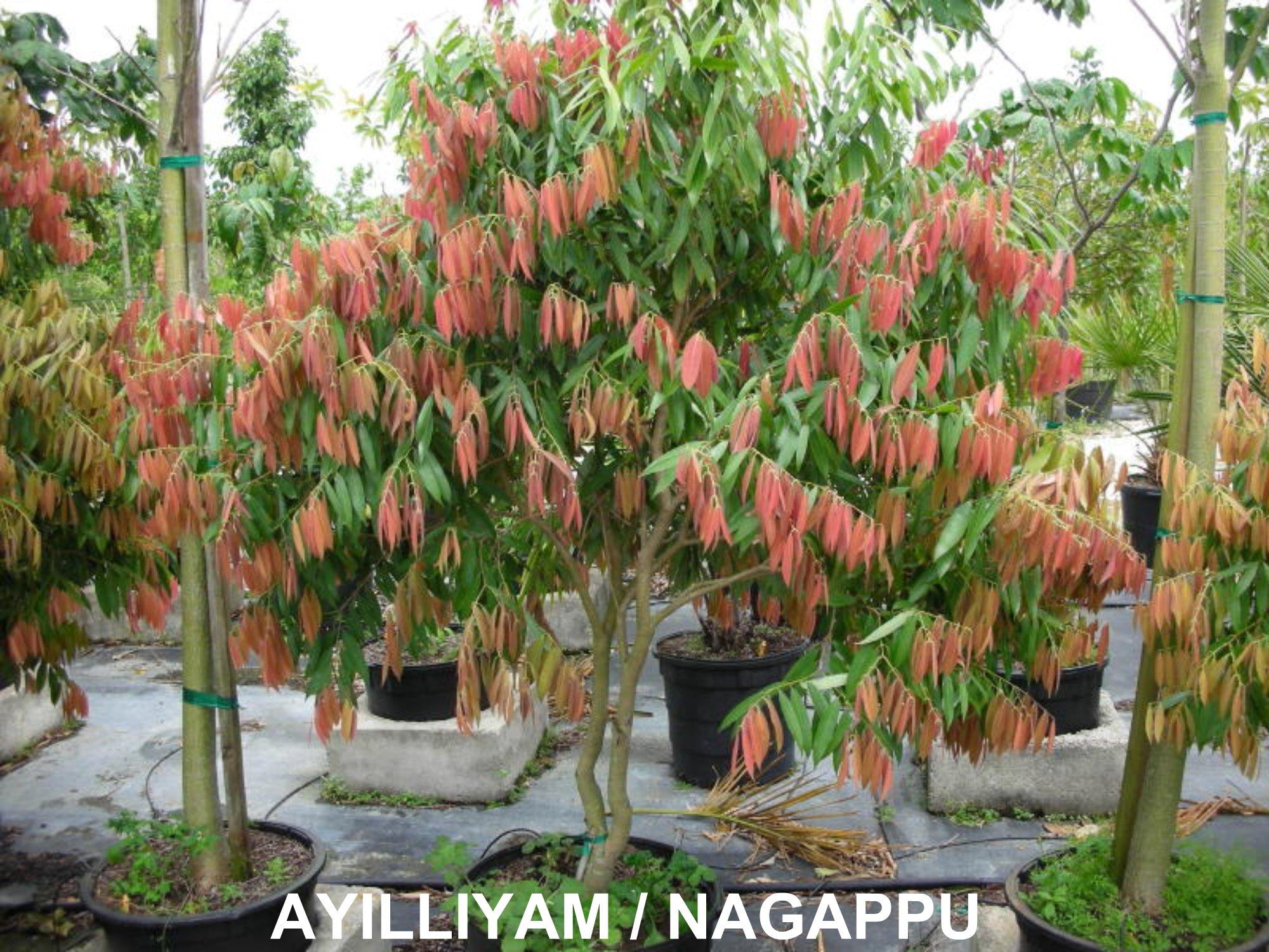 Birth Star Trees Photos | Travancore Devaswom Board